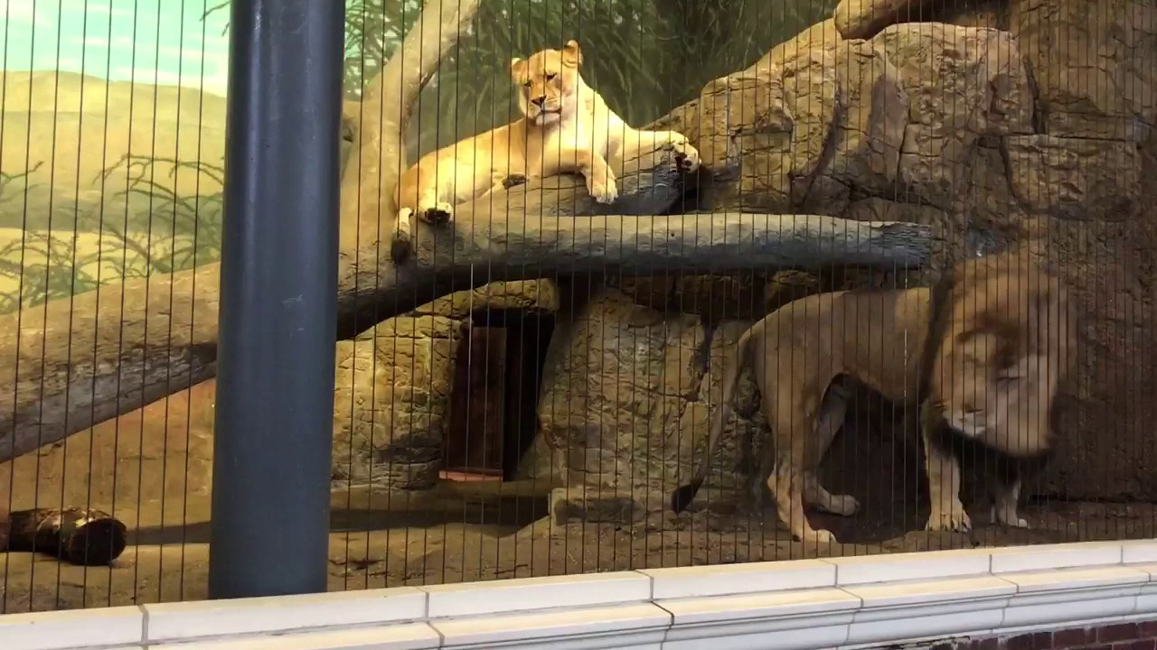 terrifying lion roar at lincoln park zoo youtube