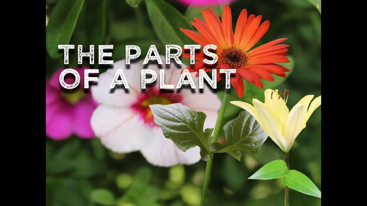 the parts of a plant song for kids about flower stem leaves roots harry kindergarten music [ 1024 x 768 Pixel ]