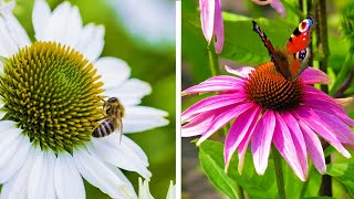 How to plant Echinacea and Rudbeckia: Jeff Turner plants Coneflowers for the summer border