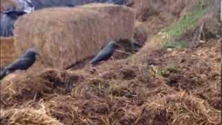 Crow shooting hunting shotgun