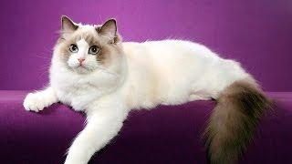 Рэгдолл - кошка тряпичная кукла