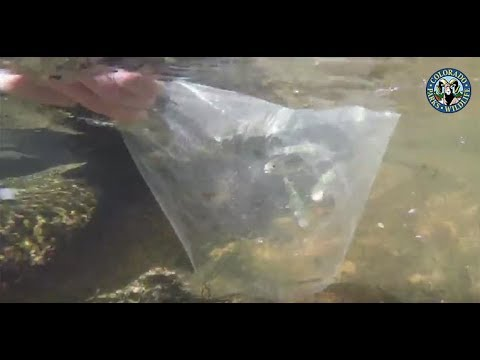 Greenback Cutthroat Trout Stocking: Herman Gulch
