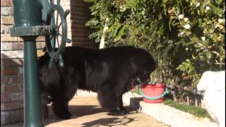 超大型犬!ニューファンドランドが水を飲む。