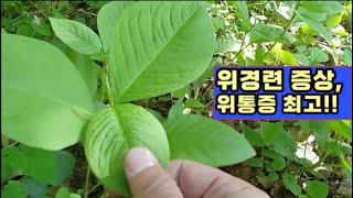 잎을 달여 먹기만 해도 몸속 나타나는 교통체증과 똑같은…