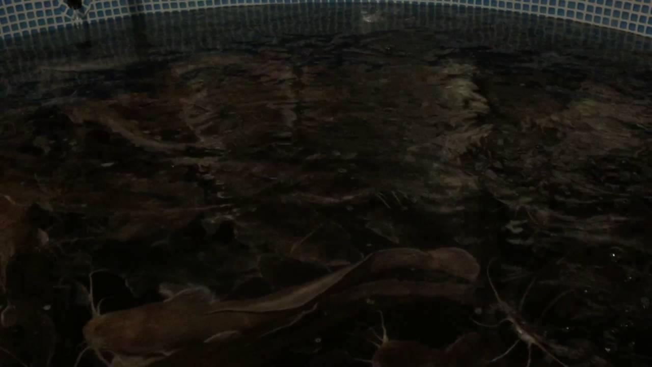 клариевый сом разведение и размножение видео
