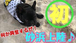 フレブル子犬タプさん生後239日目♪ 天気か良く温かったので、タプさんに...