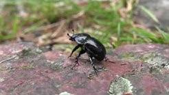 Musta koppakuoriainen ulkoilemassa