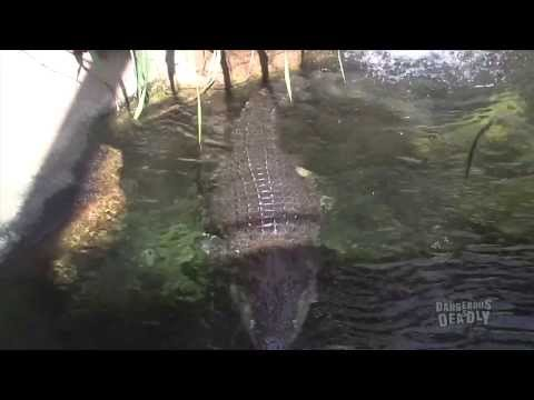 Dangerous And Deadly: Saltwater Crocodile