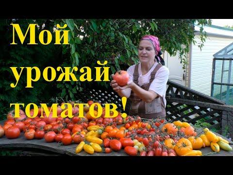 Урожайные томаты для средней полосы