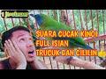 Suara Cucak Kinoi Full Isian Trucuk Dan Cililin  Mp3 - Mp4 Download