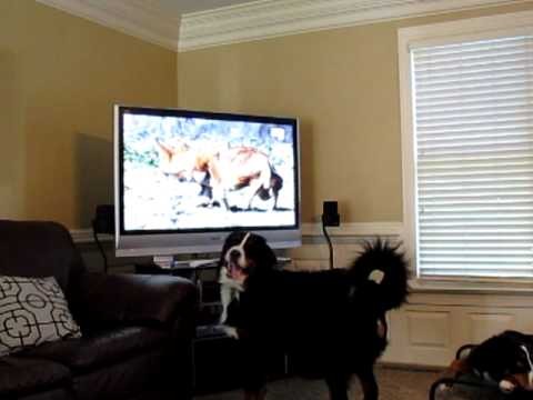 Bernese mtn dog watching tv