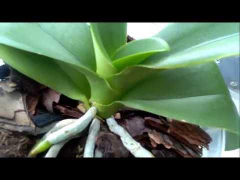 Цветонос или корешок растет у орхидеи