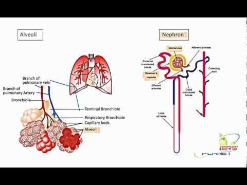 Comparison of Alveoli and Nephron