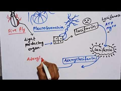 Bioluminescence Mechanism, Light Producing Mechanism By Animals.