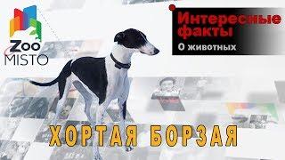 Хортая Борзая - Интересные факты о породе  | Собака породы хортая борзая