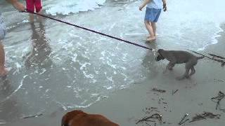 Jamie The Weimaraner Puppy At The Beach - She Doesn't Like It!
