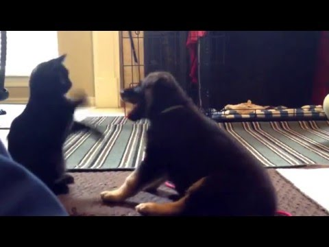 German Shepherd Puppy Odin vs Manx Kitten