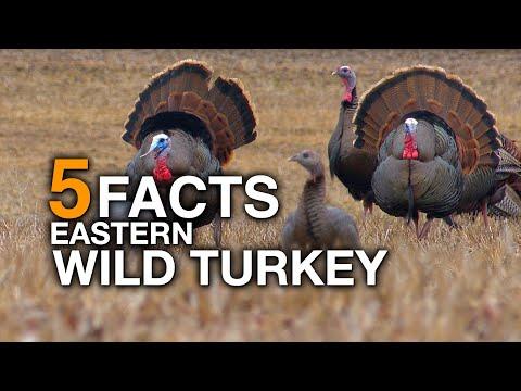 5 FACTS | Eastern Wild Turkey