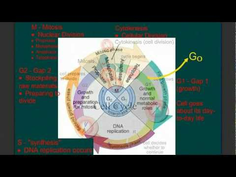 The Cell Cycle and Controls on Growth