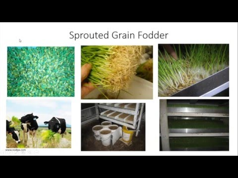 Evaluating Sprouted Grains on Grazing Dairy Farms