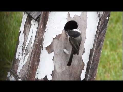 Black-capped Chickadee Fledging