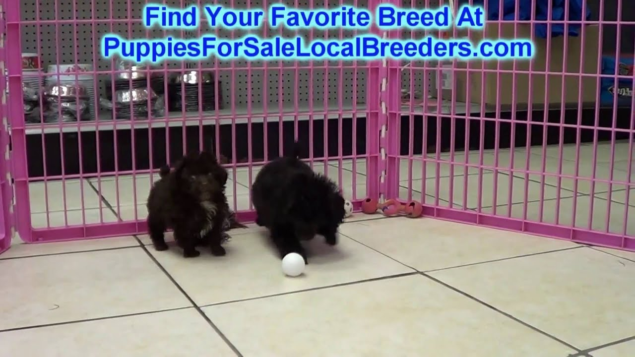 Toy Poodle Puppies For Sale In Nashville Tennessee Tn