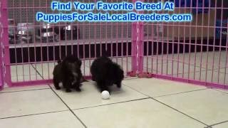 Toy Poodle Puppies For Sale Local Breeders