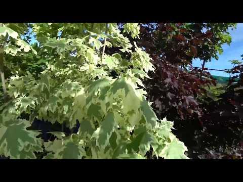 Питомник растений ФЛОРИНИ. Крупномеры ели, кустарники, сосны, туи