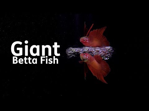 Giant Betta Fish