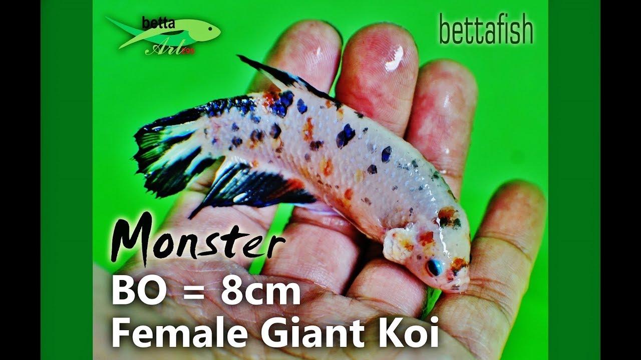 Female Giant Betta Koi Fancy BO=8cm, biggest and monster series,...