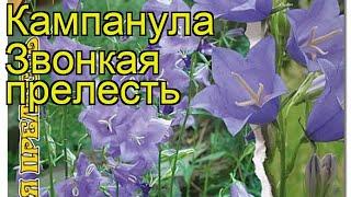 Колокольчик обыкновенная Звонкая прелесть. Краткий обзор, описание campanula Zvonkaya Prelest