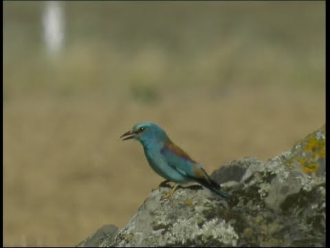 Rollier d'Europe - Roller - Blaurake ( Coracias garrulus )