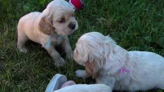 Cocker Spaniel Puppies 5 Weeks Outside Playtime