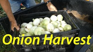 1st Candy Onion Harvest | What