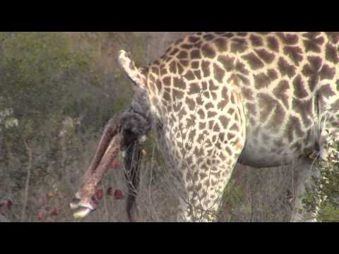 Incredible! Giraffe giving birth in the wild!