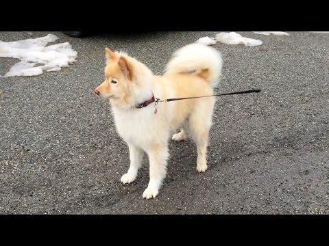 Finnish lapphund, or the friendliest dog of the WORLD