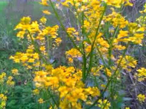 Pretty yellow wild flowers griffith indiana youtube pretty yellow wild flowers griffith indiana mightylinksfo