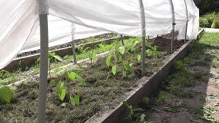 Высаживаем рассаду перцев в открытый грунт. Я сажаю.(, 2016-05-30T08:02:04.000Z)