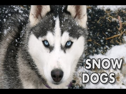 Snow Dogs - A Song About Huskies
