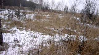 Русски охотничий спаниель - работа по фазану