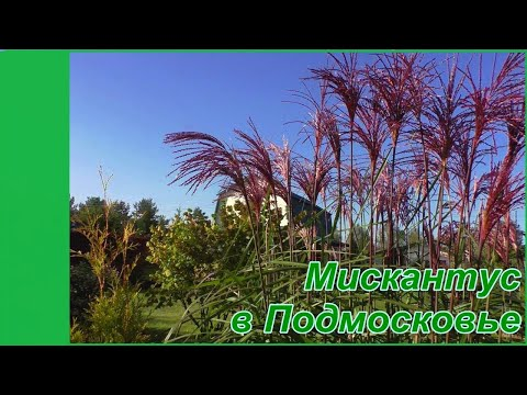 Мискантус китайский Грацилимус у меня в саду. Декоративные злаки в Подмосковье.