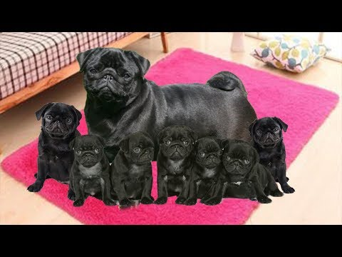 Our Pug dog in labor and having many cute puppies