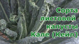 Разные сорта капусты Кале (Кейл) которые выращивала