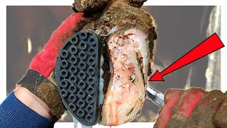 COWS'S HOOF CAVITY ... FILLED WITH PUS
