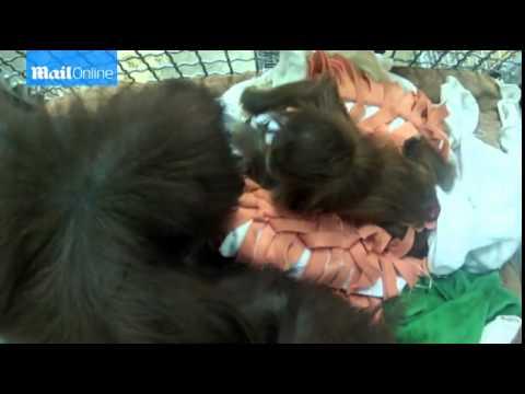 Baby orangutan 'adopted' at Monkey World...