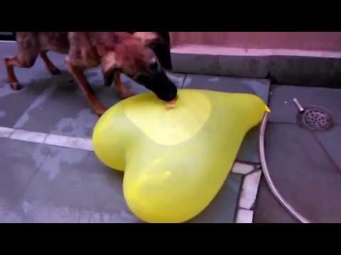 GIANT HEART ❤ WATER BALLOON POPS BY A DOG ❤