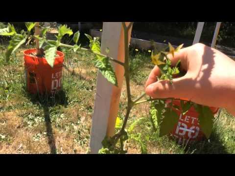 Как пасынковать помидоры: инструкция с видео и картинками