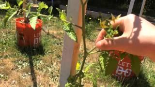 Пасынкование томатов / Что такое пасынки(Это видео о строении куста томата. Что такое пасынки, листы, цветочные и плодовые кисти томата? Как отличить..., 2015-06-16T21:31:44.000Z)