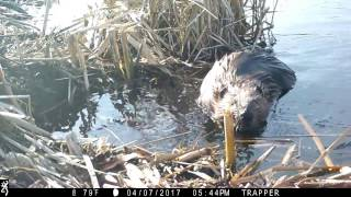 "Basic Beaver Trapping ""Footholds with actual catch on film as it  happens"""