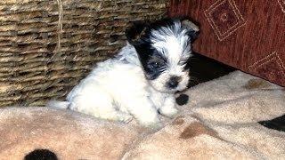 Biewer-yorkshire-terrier / O-wurf (5)
